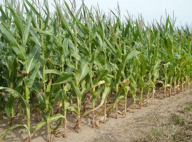 Agricultores esperam maior volume de chuva para garantir produção em Feira de Santana